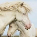 Imagenes de caballos albinos