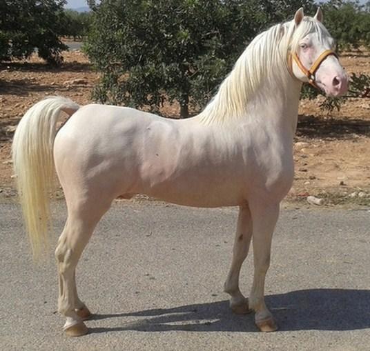 Imagenes de caballos albinos bonitos