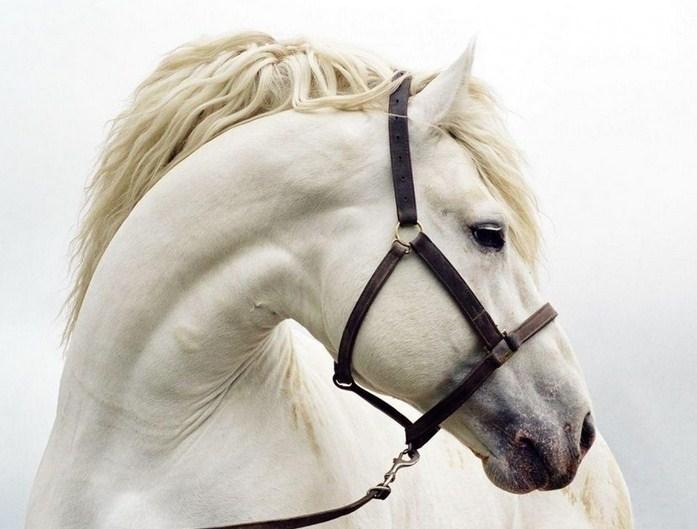 Imagenes de caballos blancos de cerca