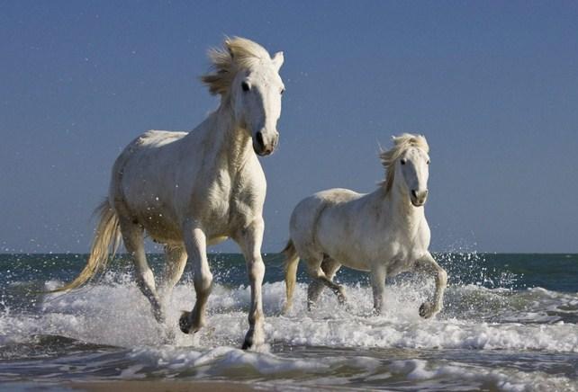 Imagenes de caballos blancos
