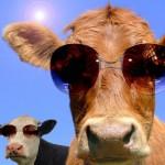 Imagenes de vacas graciosas