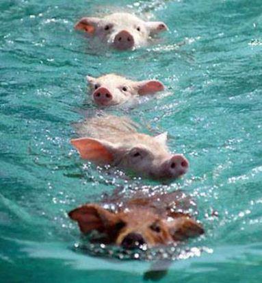 Imagenes tiernas de cerditos nadando
