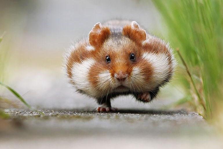 Imagenes tiernas de hamsters corriendo