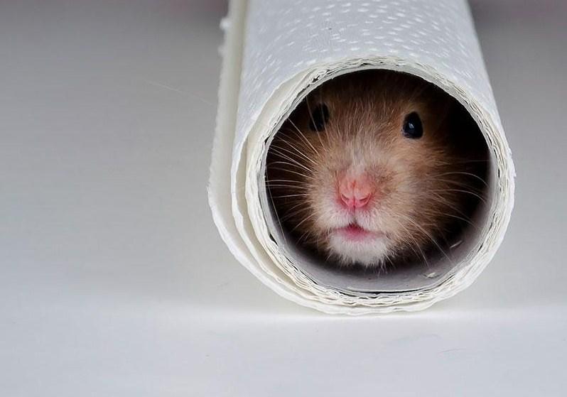 Imagenes tiernas de hamsters escondidos