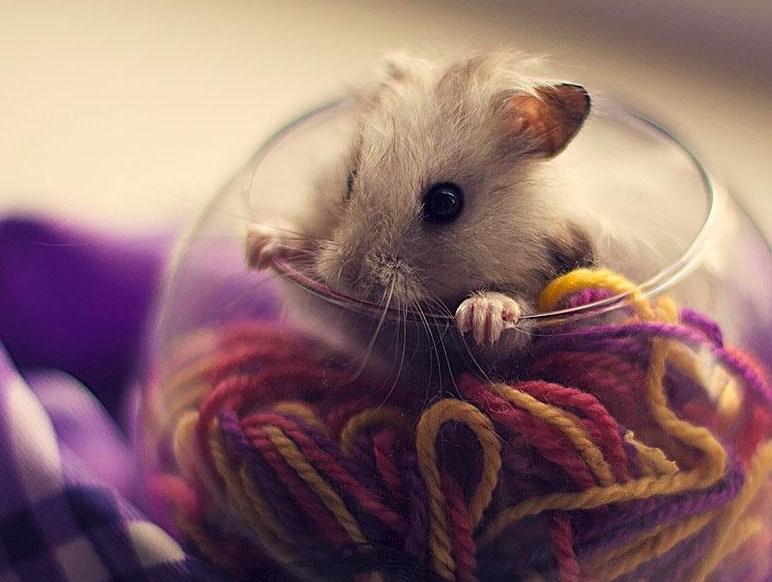 Imagenes tiernas y simpaticas de hamsters