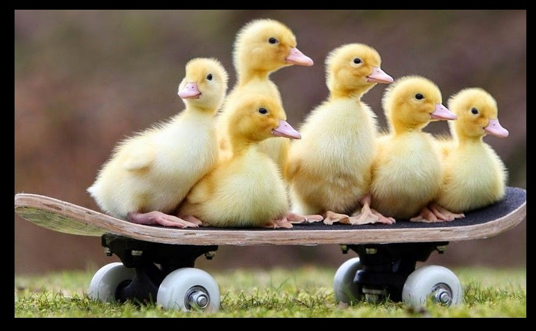Fotos De Patitos Pictures to Pin on Pinterest PinsDaddy